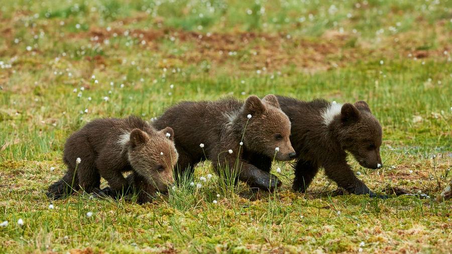 Bears on grass