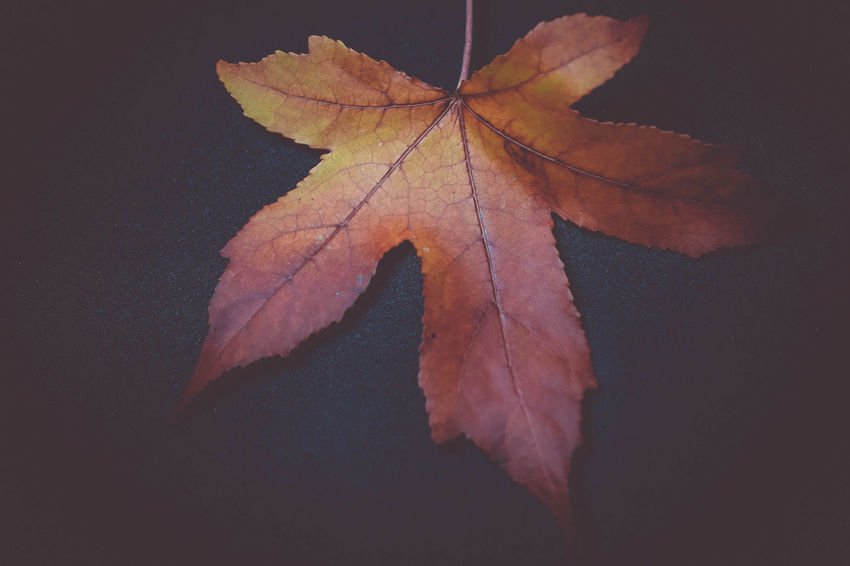 leaf Autumn Beauty In Nature Change Close-up Day Dry Fragility Leaf Maple Maple Leaf Nature No People Outdoors Water