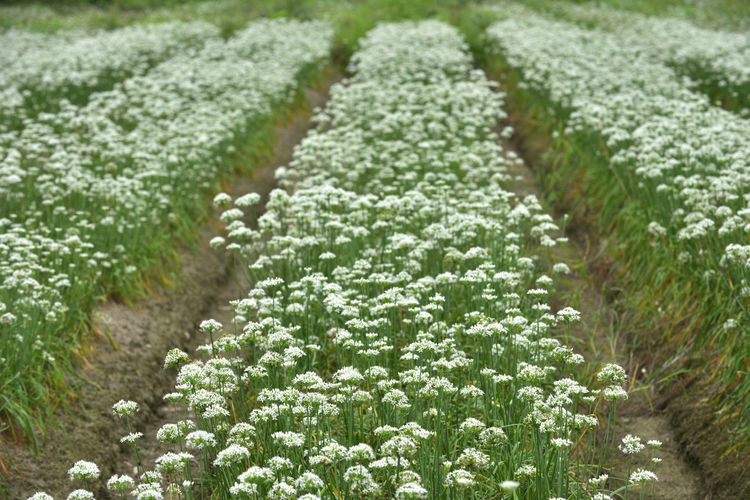Agriculture Beauty In Nature Close-up Day Field Food Food And Drink Freshness Green Color Growth Leaf Nature No People Outdoors Plant Vegetable 台灣 展望 排列 蔬菜 農作物 農業 鄉村 開花 韭菜花
