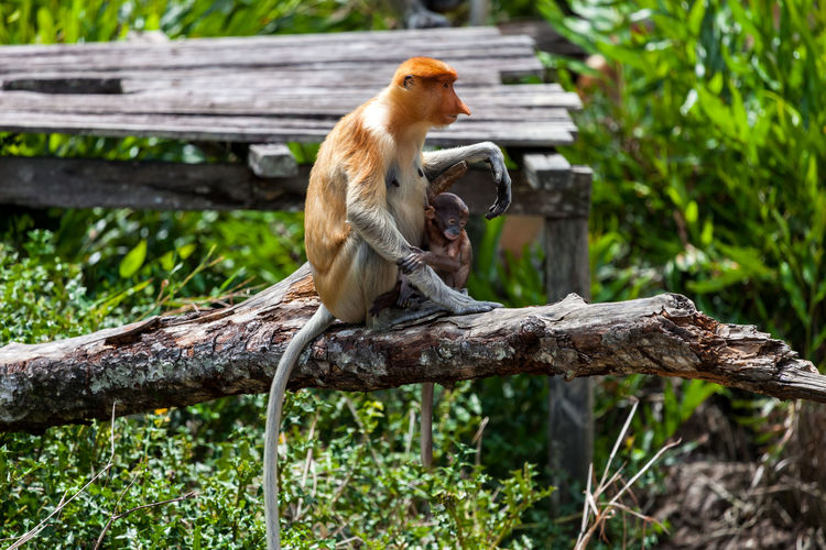 Proboscis Monkey Nasalis Larvatus Borneo Sabah Borneo Labuk Bay Malaysia Sandakan Borneo Monkeys Eos5d Canon Baby Animals EyeEmNewHere