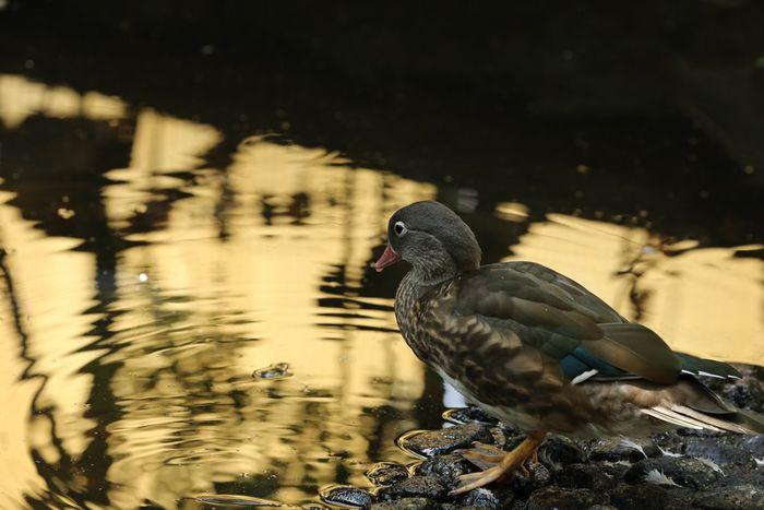 私は、金のベンザ・ブロックでお願いしま〜す。😝 Bird Animal_collection Animal 鳥 動物 EyeEm Best Shots かも かも。 鴨 だね。 かも か?