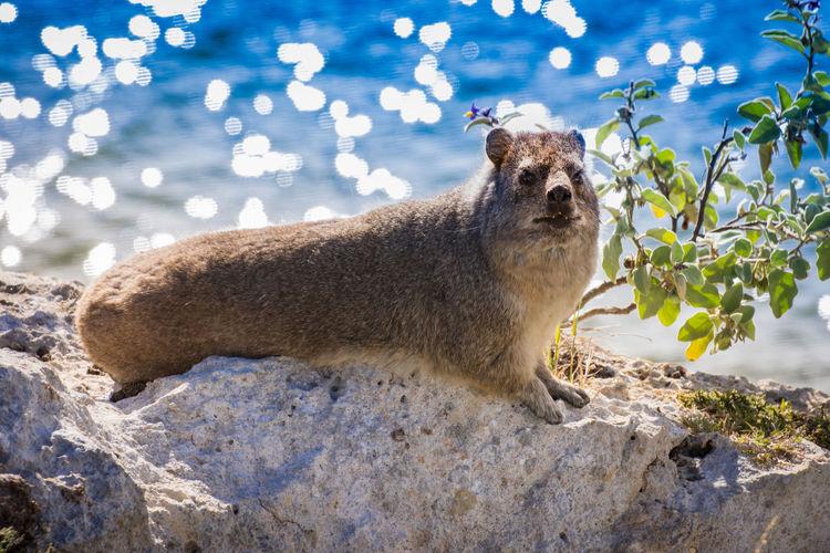Portrait of groundhog lying on rock