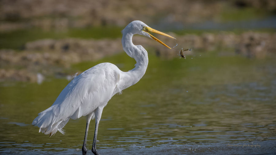catching the catch Animal Themes Animal Wildlife Animals In The Wild Beak Beauty In Nature Bird Close-up Day Focus On Foreground Great Egret Lake Nature No People One Animal Outdoors Water Waterfront White Color