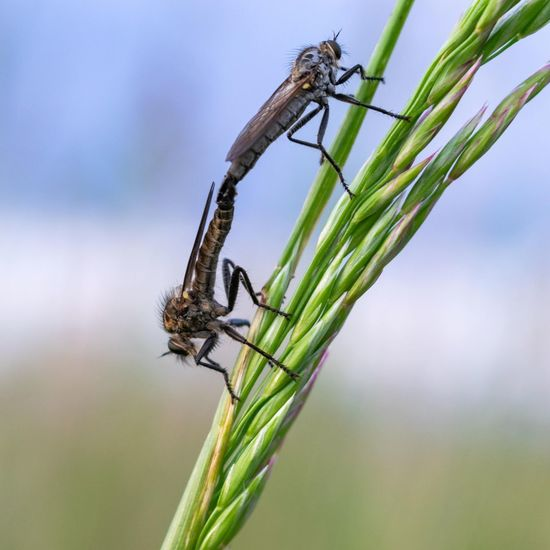 Robber flies mating. Robber Fly Close-up Animal Themes Green Color Animals Mating Animal Behavior