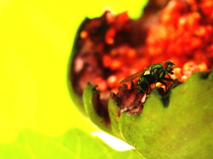 A fly and a fig Fig Fruit Macro Macro Photography Macro Nature Nature Photography Nature Leaf Insect Red Close-up Animal Themes Green Color Fly Housefly Tiny Invertebrate The Still Life Photographer - 2018 EyeEm Awards