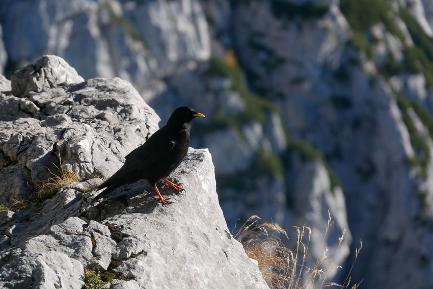 Bird Animal Themes Animals In The Wild One Animal Rock - Object Animal Wildlife Outdoors Nature Day Blackbird Perching No People Beauty In Nature Kehlsteinhaus (Eagle's Nest) Bavaria Bayern Germany