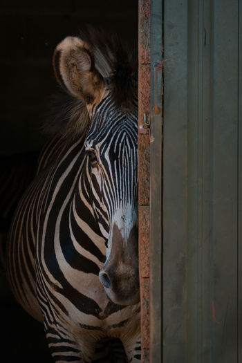 Animal Animal Themes Animal Wildlife Animals In The Wild Black Close-up Day Grevy's Zebra Imperial Zebra Mammal Nature Nature No People One Animal Outdoors Striped Stripes White Wildlife Zebra Zebra