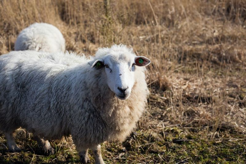 Curious sheep Animal Sheep Livestock Domestic Animals Animal Themes Mammal Field Day No People Grass Outdoors Nature Looking At Camera