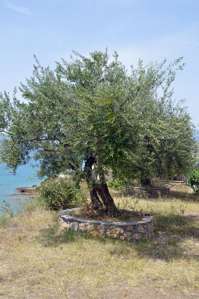 tree of life....Beauty In Nature Grass Green Growing Growth Nature Non-urban Scene Olive Olive Tree Olive Tree Blue Sky Outdoors Sky Tree Tree On Rock at Kalamata The Great Outdoors - 2016 EyeEm Awards The Photojournalist - 2016 EyeEm Awards