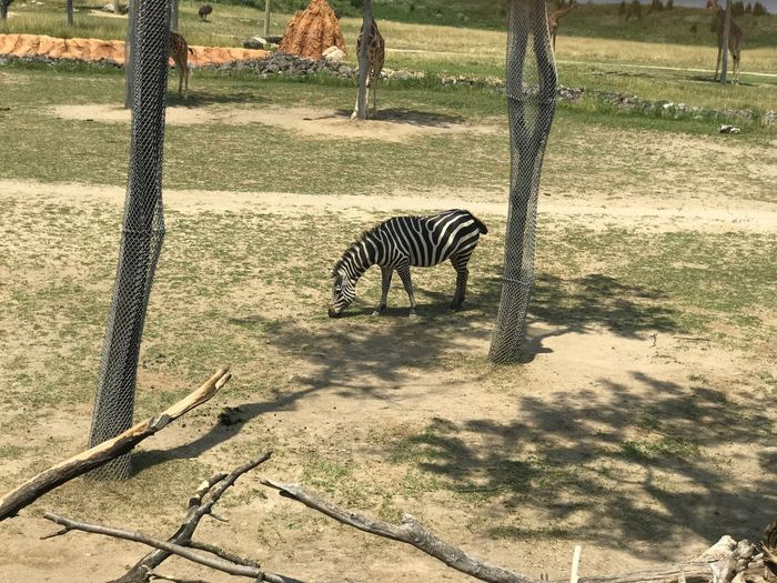 Zebra Animal Themes Animals In The Wild One Animal Mammal Striped Animal Wildlife Day Safari Animals Zoo Nature Shadow Outdoors Animal Markings No People Tree Sunlight Standing