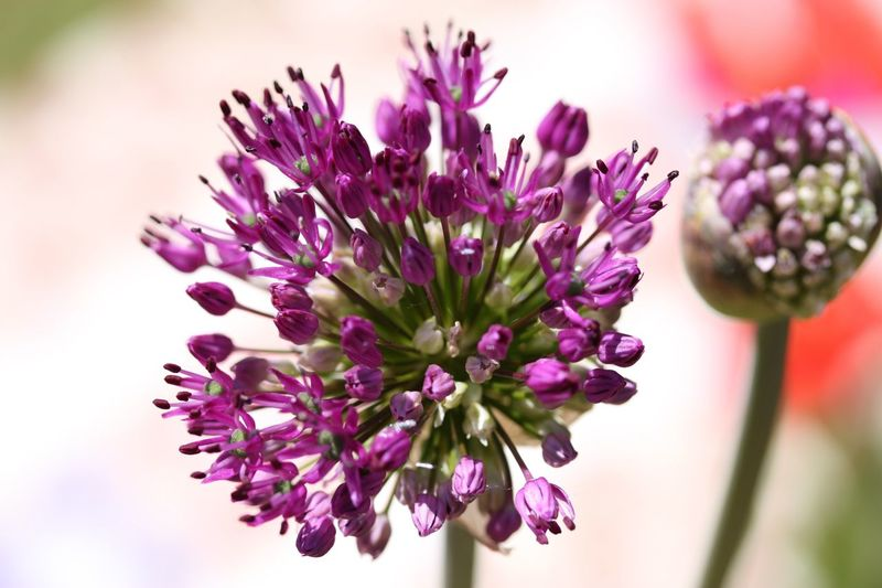 Allium buds Flower Flowering Plant Plant Vulnerability  Fragility Beauty In Nature Freshness Close-up Flower Head Purple Growth Focus On Foreground Nature No People Selective Focus Day Outdoors
