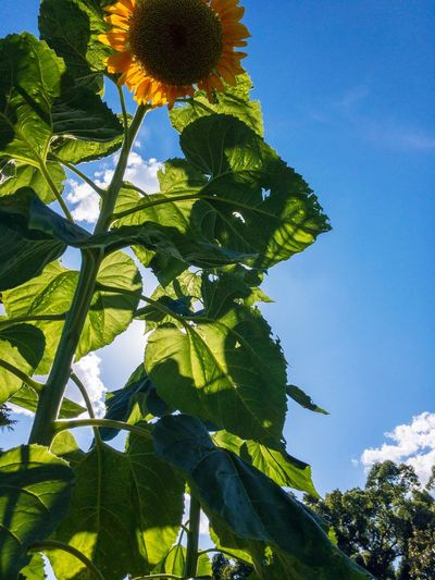 35℃! Sunflower Plant Tree Growth Low Angle View Sky Green Color Nature