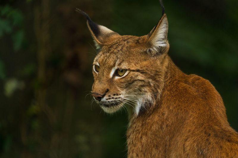 The lynx...