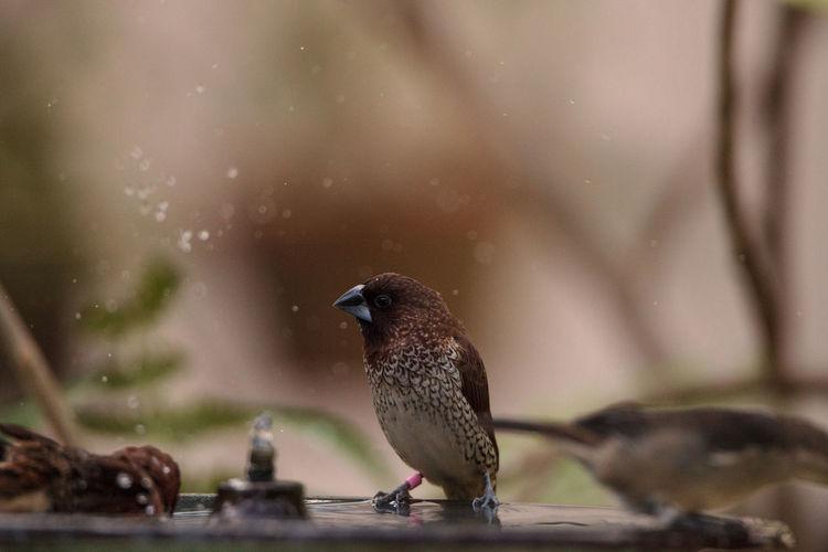 Spice finch lonchura punctulata bird perches on the edge of a bird bath.