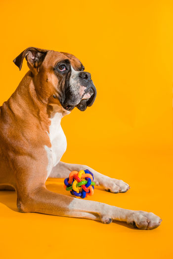 Portrait of dog sitting against yellow background