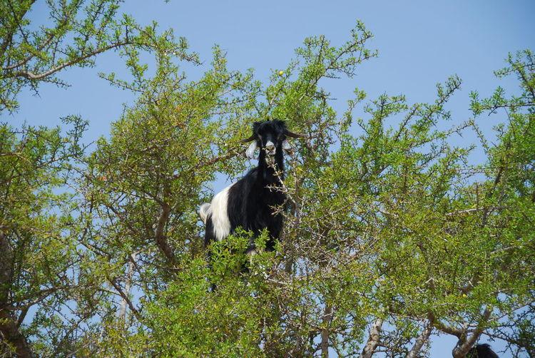 Ziege Goat Tree Baum Argan Arganöl Oil Argan Oil Marokko Moroccoclimbing Klettern Climbing Goats Sapote Nuss Nut Ast Äste Branch Branches Tree One Animal Animal Themes Domestic Animals Nature Outdoors No People Growth