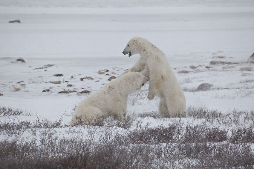 Two Polar Bears playing together CHURCHILL Endangered Species Hudson Bay Ice Polar Bear Wildlife & Nature Animal Themes Animal Wildlife Animals In The Wild Canada Day Fighting Mammal Nature No People North Polar Sea One Animal Outdoors Playing Predator Sea Snow Water