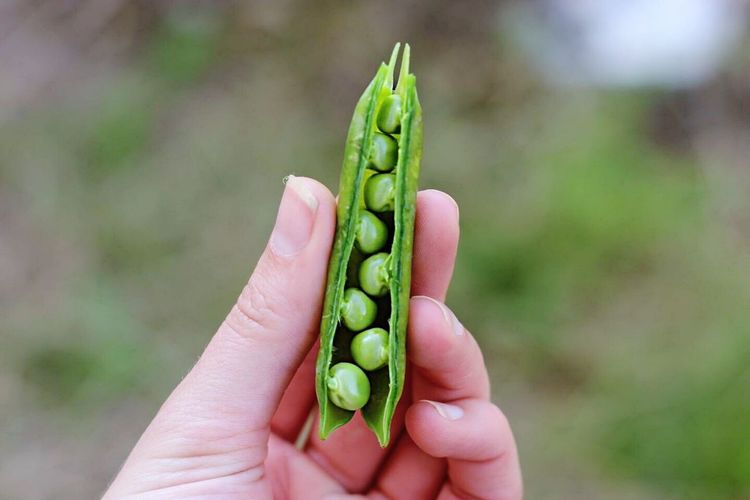 Close-up of hand holding pea pod
