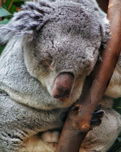 One Animal Animal Themes Mammal Close-up Animal Head  Animals In The Wild Day Outdoors No People Koala Bear Koala Koala In Tree Koala Sleeping Koala On A Tree Animal Photography Day Out Animal Zoo Amateur Photography Photography Edinburgh, Scotland