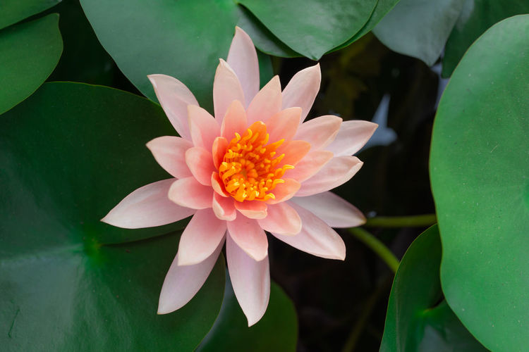 Flower Flowering Plant Plant Vulnerability  Leaf Freshness Fragility Petal Plant Part Growth Inflorescence Flower Head Beauty In Nature Close-up Water Lily Nature Water Lake Green Color No People Pollen Floating On Water Lotus Water Lily Leaves