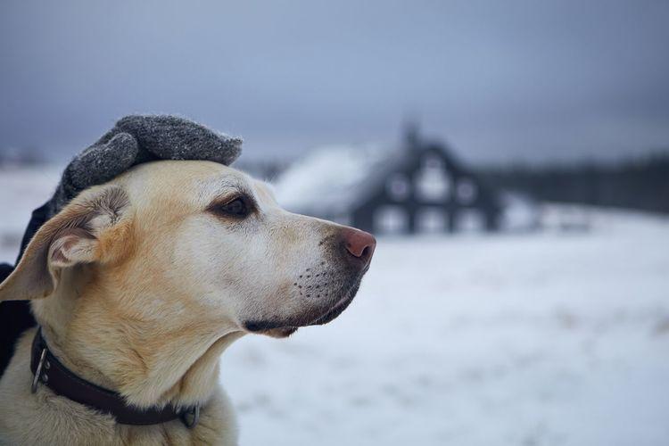 Person in warm clothing stroking dog on snowy field. labrador retriever against winter landscape.
