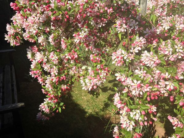 Crab Apple Blossom Growing Our Own