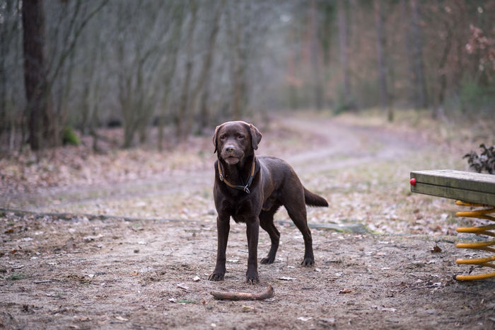 Labrador Brown Labrador  Pets Portrait Full Length Dog Autumn Happiness