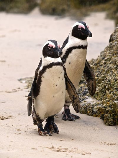 High angle view of jackass penguins at beach