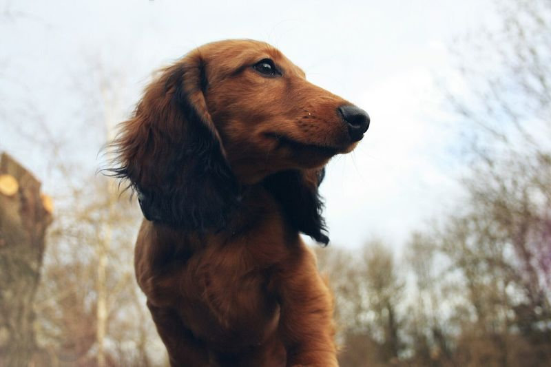 Berry Manuel. Dog Dachshund Teckel Dachshundlovers