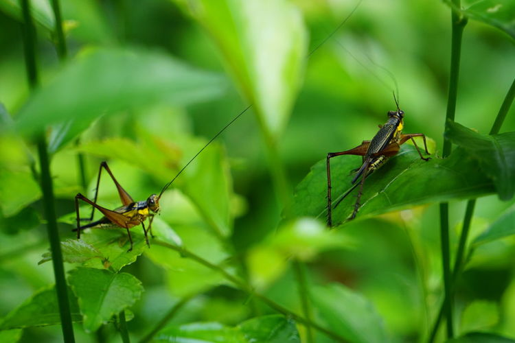 Two long horned grasshoppers Animal Animal Themes Animal Wildlife Animals In The Wild Blade Of Grass Close-up Day Grasshopper Green Color Growth Insect Invertebrate Leaf Nature No People One Animal Outdoors Plant Plant Part Selective Focus Zoology