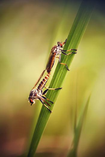 Robberflies mating Bokehlicious EyeEmNewHere Nature Robberflies Robberfly Mating Bokeh Background Mating Pair Of Insects Robberfly Robberfly Making Love