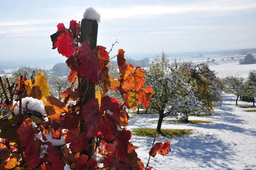 Autumn Colors Red Leaves Weather Weathered Early Snowfall Landscape Snow Covered Sunshine Vineyards In Autumn