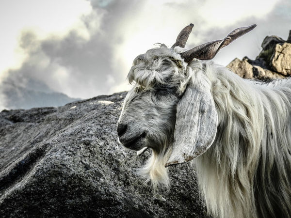 White Mountain goat seems to be Meditating Animal Photography Goat Mountain Goats Mountain Animal Finding New Frontiers