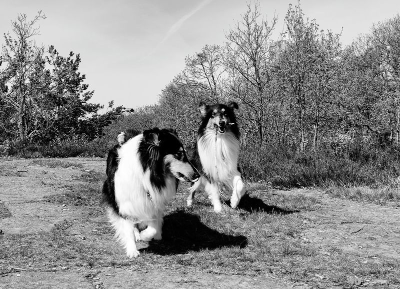 Kendza and Molly is playing Dogs Of EyeEm Dogstagram Enjoying Life Canonphotography Collie Collies Love Dog EyeEmBestPics Tadaa Community No People Around You Gothenburg, Sweden Vitsippsdalen Our Best Pics Dog Adobe Canon Blackandwhite Photography Black And White Collection  Black And White Rough Collie Happy Happiness Photos Around You Bestpic