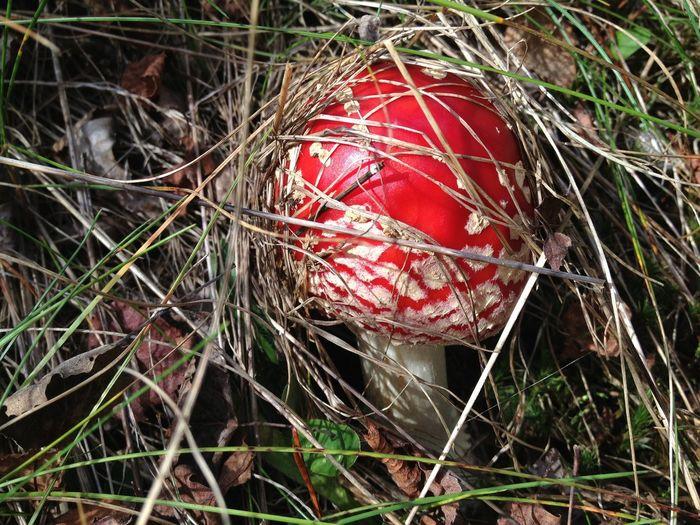 Close-up Fly Agaric Mushroom Fungus Grass Growth Mushroom Nature Outdoors Red