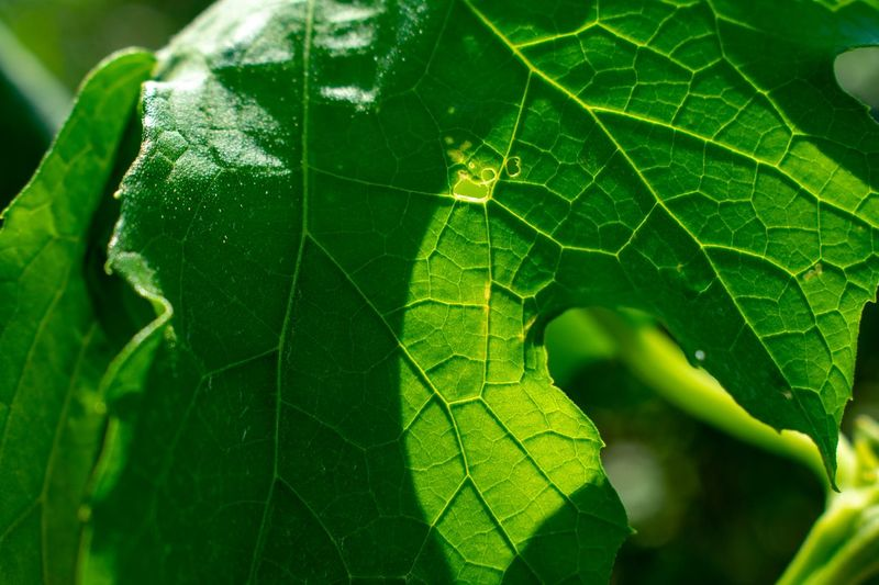 A leaf EyEmNewHere Plant Part Leaf Green Color Close-up Plant Nature Growth Day Leaf Vein Beauty In Nature Focus On Foreground No People Fragility Outdoors Vulnerability  Insect Drop Sunlight Invertebrate Animal Capture Tomorrow