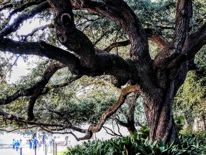 ancient oaks Historical Place Shapes And Forms Windows Of My World Tree Branch Tree Trunk