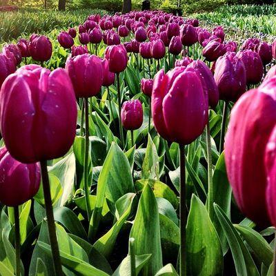 Good Morning #tulipfieldsexperience #flowers #tulips #holland #ubiquography #dutch #jj_forum #igersholland #leiden #keukenhof Tulipfieldsexperience Flowers Holland Tulips Leiden Dutch Keukenhof Jj_forum Ubiquography Igersholland Theflowerofgardens