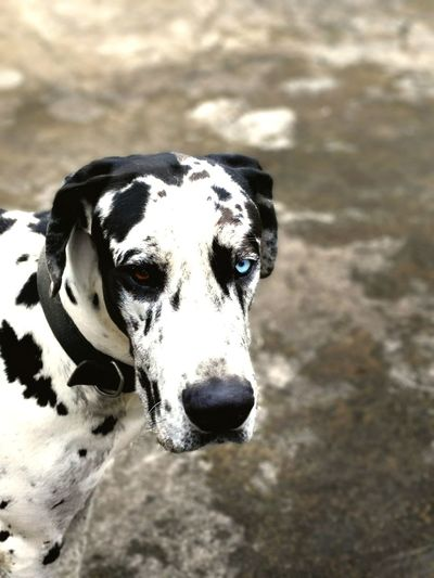 Great Dane Eyes Dual Lens Double Colors Dogs Dogstagram Dogslife Brown Anf Blue Scary Eyes