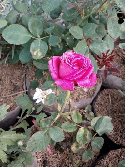 🌷 Flowers 🌹 Flower_gallery Flower Collection Flower Photography Rose🌹 Mawar Pink Rose My Premium Collection