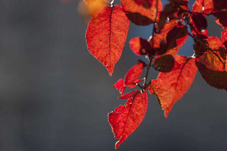 Red autumn leaves Red Autumn Beauty In Nature Change Close-up Day Fall Focus On Foreground Fragility Fruit Growth Leaf Leaves Maple Leaf Natural Condition Nature No People Orange Orange Color Outdoors Plant Plant Part Red Tree Vulnerability