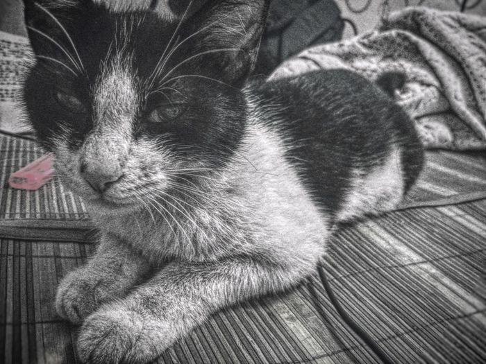 我的猫 Pets Domestic Animals One Animal Animal Themes Mammal Indoors  No People Domestic Cat Close-up Feline Day