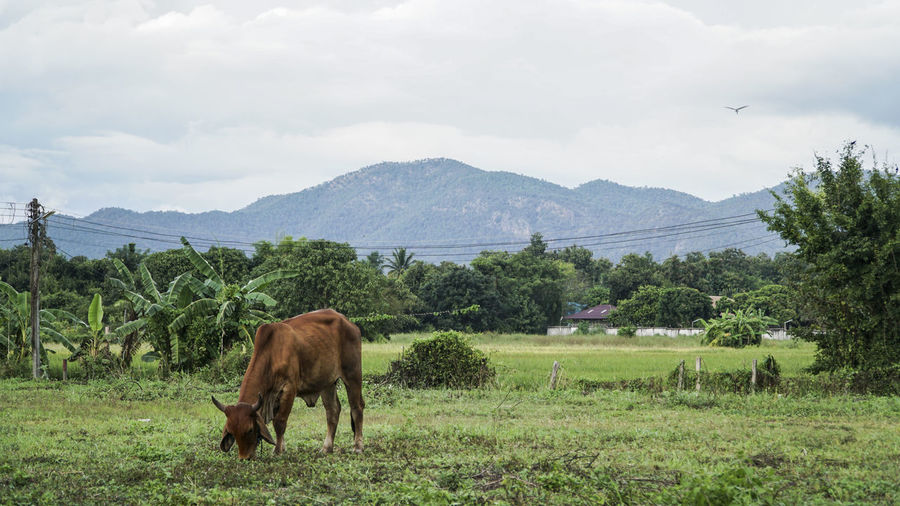 Cattle grazing on field against sky