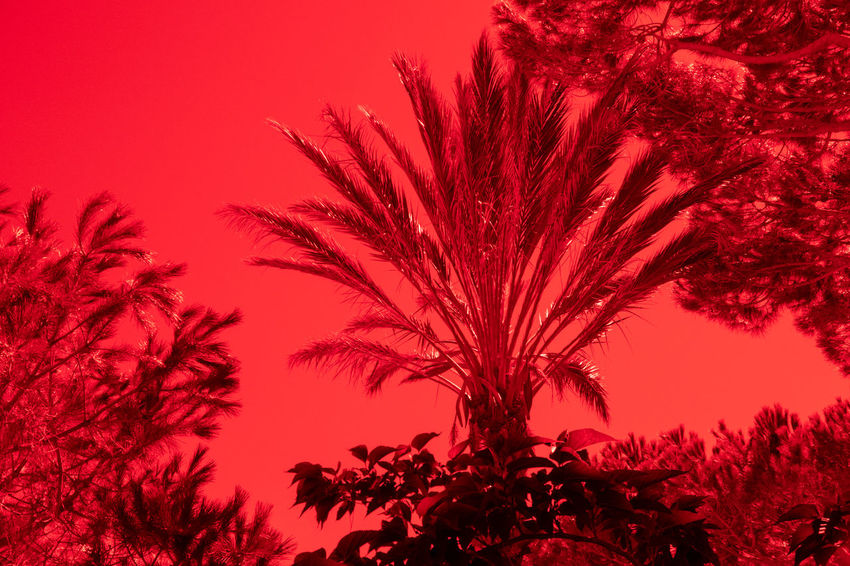 Analogue Photography Metering Red Beauty In Nature Branch Close-up Day Dusk Growth Leaf Low Angle View Metering Light Nature No People Outdoors Plant Red Red Filter Scenics - Nature Sky Sunset Tranquil Scene Tranquility Tree Treetop