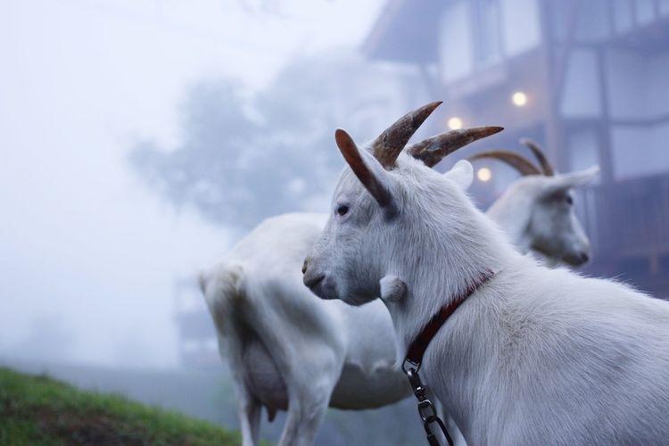 Goat. First Eyeem Photo EyeEmNewHere