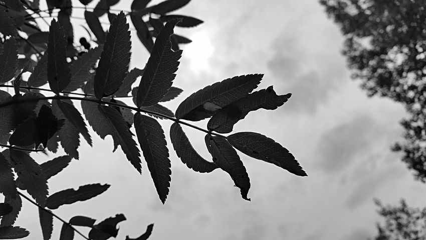 Leafmania Leafs Nature_collection EyeEm Nature Lover Nature Leaves Blackandwhite