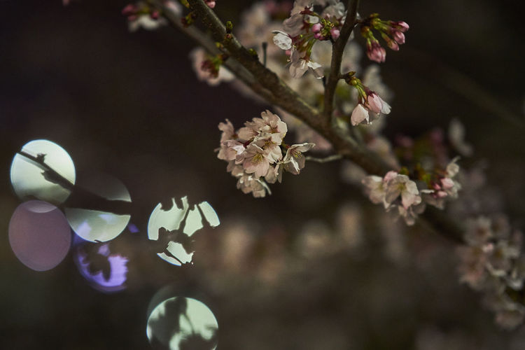 Cherry Blossom Cherry Blossoms Night Lights Night Photography Nightphotography Beauty In Nature Blooming Blossom Branch Cherryblossom Cherryblossoms Close-up Flower Flower Head Fragility Freshness Growth Nature Night Night View Nightshot No People Outdoors Springtime