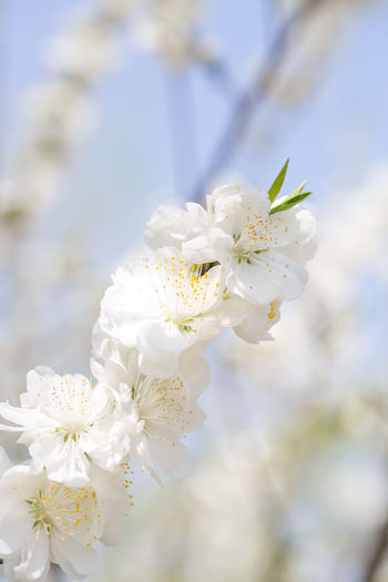 Beauty In Nature Blossom Cherry Blossom Cherry Tree Close-up Day Flower Flower Head Flowering Plant Focus On Foreground Fragility Freshness Growth Inflorescence Nature No People Petal Plant Pollen Springtime Tree Vulnerability  White Color