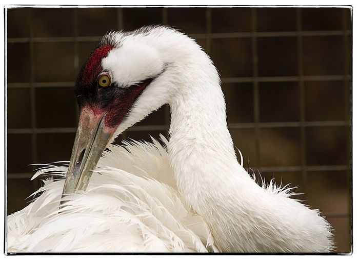 Whooping Crane Whooping Crane Bird Zoo White Color