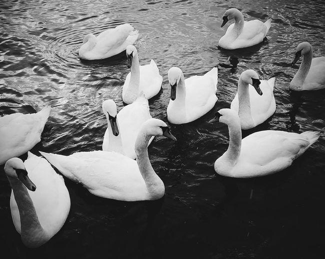 Black & White Swan Beauty In Nature Birds Graceful Wintertime Winter2017 Walking
